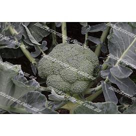 Батори F1 семена капусты брокколи Syngenta/Сингента