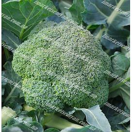 Румба F1 семена капусты брокколи среднеранней 2 500 семян Clause/Клоз