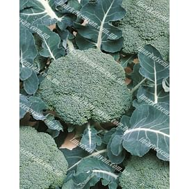 Белстар F1 семена капусты брокколи средней Bejo/Бейо