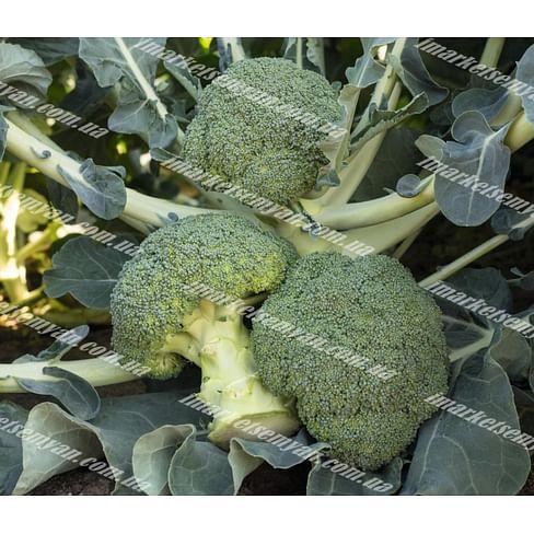 Батавия F1 семена капусты брокколи ранней Bejo/Бейо