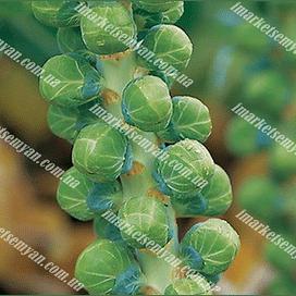 Диамант F1 (Бриллиант F1) семена капусты брюссельской средней Hazera