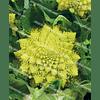 Вердонэ F1 семена капусты тип Романеско 1 000 семян Enza Zaden/Энза Заден