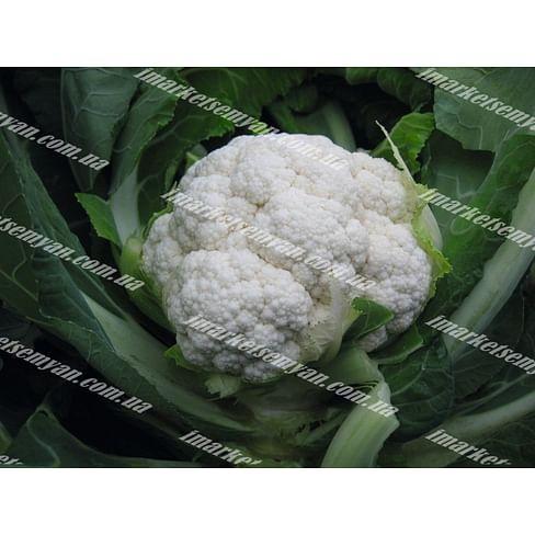 Овиедо F1 семена капусты цветной ранней 2 500 семян Bejo/Бейо