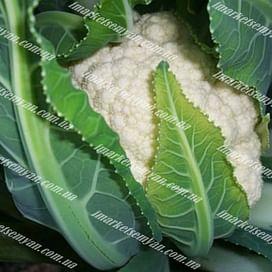 Локрис F1 семена капусты цветной средней 1 000 семян Vilmorin/Вилморин