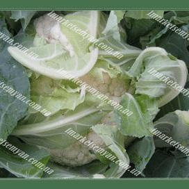Рауль F1 семена капусты цветной средней 2 500 семян Hazera