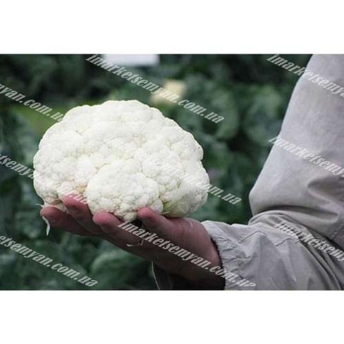 Саборд F1 семена капусты цветной средней 2 500 семян Clause/Клоз