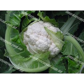 Балбоа F1 семена капусты цветной средней 2 500 семян Bejo/Бейо
