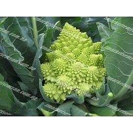 Вероника F1 семена капусты тип Романеско средней 2 500 семян Bejo/Бейо