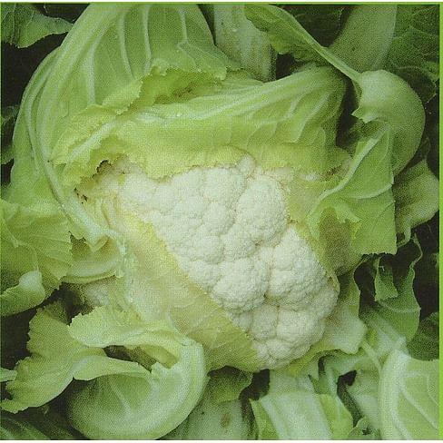 Америго F1 семена капусты цветной средней 2 500 семян Syngenta/Сингента