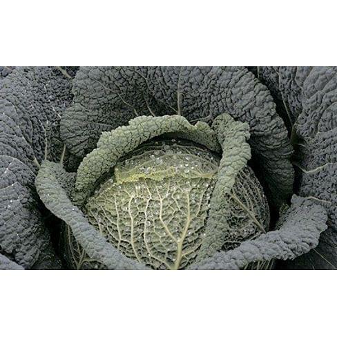 Виратоба F1 семена капусты савойской 2 500 семян Syngenta/Сингента