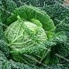 Турмалин F1 семена капусты савойской поздней 2 500 семян Hazera