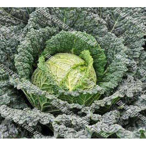 Серпантин F1 семена капусты савойской среднеранней 2 500 семян Hazera
