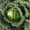 Серд семена капусты савойской средней Semenaoptom/Семенаоптом