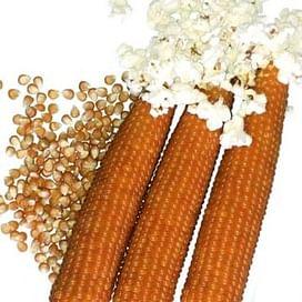 Эстрелла F1 семена кукурузы попкорн поздней Lark Seeds/Ларк Сидс