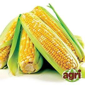 Либертон F1 семена кукурузы суперсладкой поздней 5 000 семян Agri Saaten