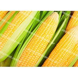 Ноа F1 семена кукурузы суперсладкой (Sh2) ранней Hazera