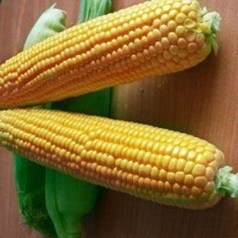 Оверленд F1 семена кукурузы поздней Syngenta/Сингента