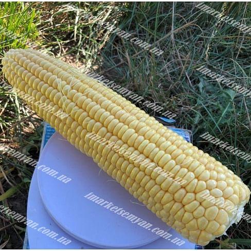 1805 F1 семена кукурузы суперсладкой 2 500 семян Lark Seeds/Ларк Сидс