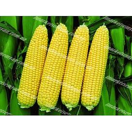 Сансвит F1 семена кукурузы суперсладкой средней 1 килограмм LibraSeeds