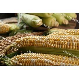 Ракель F1 семена кукурузы суперсладкой ранней Clause/Клоз