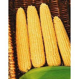 Мегатон F1 семена кукурузы суперсладкой средней Harris Moran