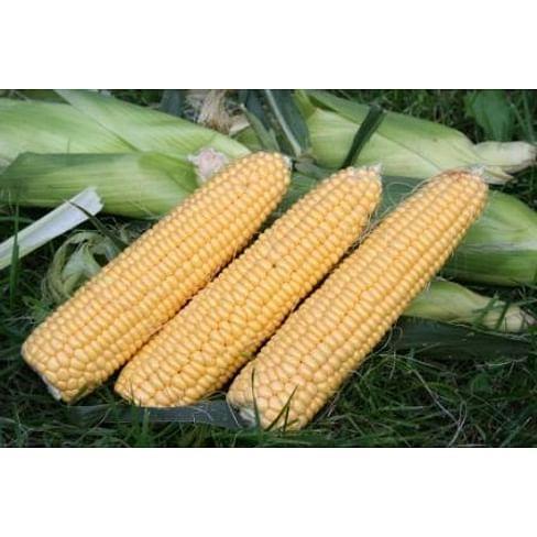 Свит Имидж F1 семена кукурузы суперсладкой среднеранней 5 000 семян Agri Saaten