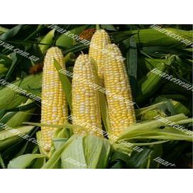 Абегаль F1 семена кукурузы сладкой среднеранней 5 000 семян Agri Saaten