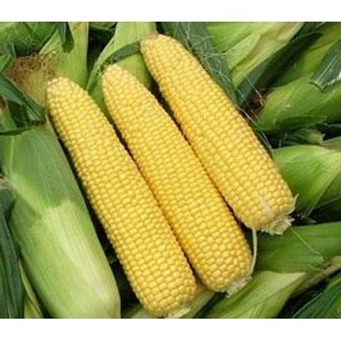 Сириус F1 семена кукурузы суперсладкой ранней Agri Saaten