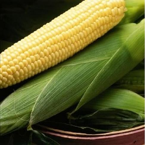 Бостон F1 семена кукурузы сладкой средней Syngenta/Сингента