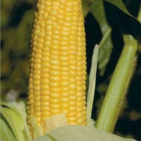 ГХ 2042 (GH 2042) F1 семена кукурузы сладкой 50 000 семян Syngenta/Сингента