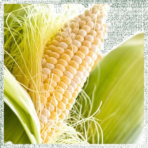 Шайнрок F1 семена кукурузы суперсладкой поздней 100 000 семян Syngenta/Сингента