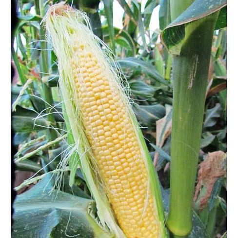 LS 899 F1 семена кукурузы суперсладкой средней Lucky Seed