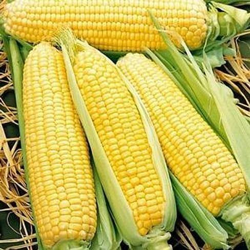 Спирит F1 семена кукурузы ранней Syngenta/Сингента