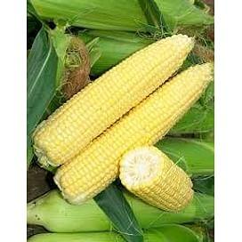 Сигнет F1 (Signet F1) семена кукурузы суперсладкой 5 000 семян Seminis/Семинис