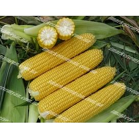 Рання Насолода F1 семена кукурузы супер сладкой Lark Seeds/Ларк Сидс