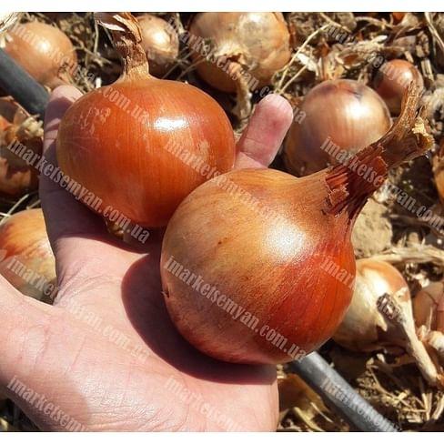 Бренда семена лука репчатого позднего 250 000 семян LibraSeeds
