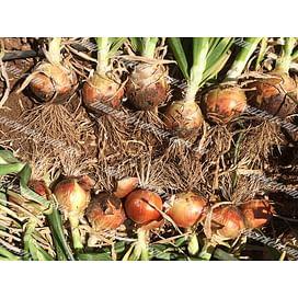 Каоба F1 семена лука репчатого раннего 250 000 семян Enza Zaden/Энза Заден