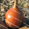 Мелори F1 (Normal) семена лука репчатого среднего 250 000 семян Bejo/Бейо