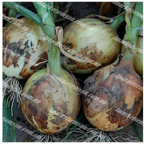 Дерби F1 семена лука репчатого раннего (Normal) 250 000 семян Bejo/Бейо