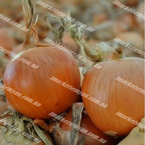 Скапино F1 семена лука репчатого раннего 250 000 семян Hazera