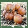 Тареско F1 семена лука репчатого среднего 250 000 семян Hazera