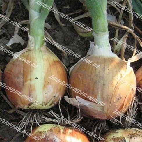 Меранто F1 семена лука репчатого среднего 250 000 семян Hazera