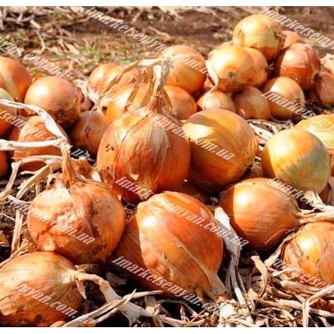 Валентино F1 семена лука репчатого среднего 250 000 семян Hazera