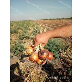Калипсо F1 семена лука репчатого 250 000 семян LibraSeeds