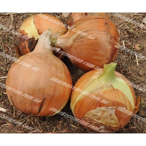 EZ 1109 F1 семена лука репчатого 250 000 семян LibraSeeds