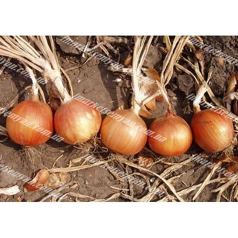 Испаньол семена лука репчатого среднего Clause/Клоз