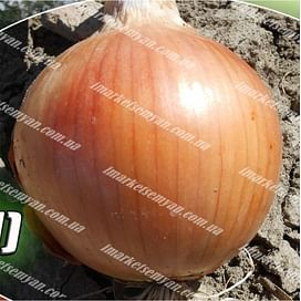 Фрюмондт F1 семена лука репчатого раннего Agri Saaten