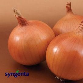 Темптейшн F1 семена лука репчатого среднего 250 000 семян Syngenta/Сингента