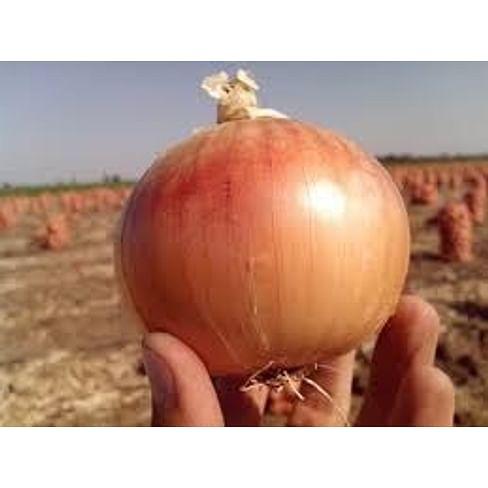 Экзакта F1 (Exacta F1) семена лука репчатого 250 000 семян Seminis/Семинис