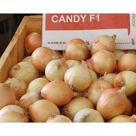 Кэнди F1 (Candy F1) семена лука репчатого среднего Seminis/Семинис